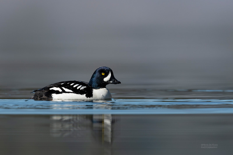 Barrow's Goldeneye, Yellowstone NP, WY, USA May 2018-3.jpg