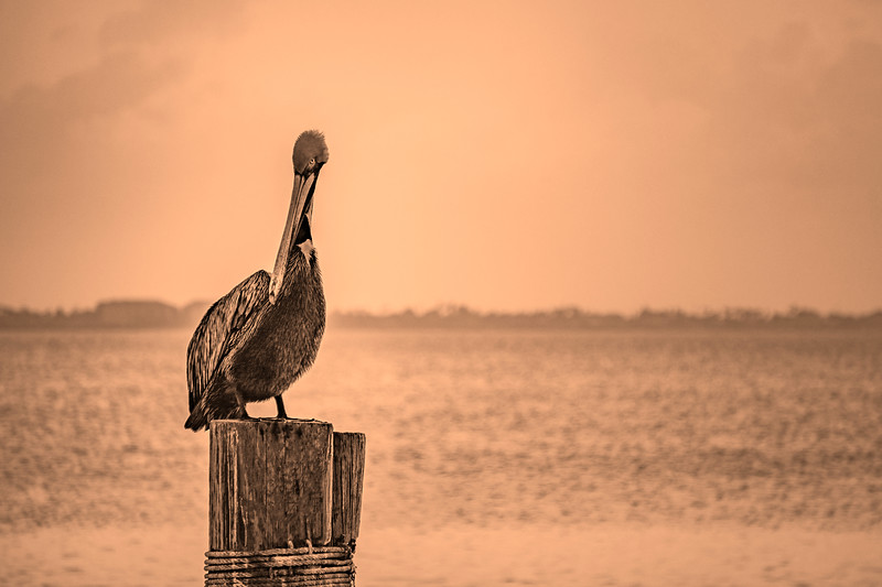Pelican Sunset Sepia 2018.jpg