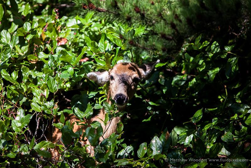 Woodget-140819-265--deer, deer hunting, wildlife - 06006008, wildlife - animals, young adult.jpg