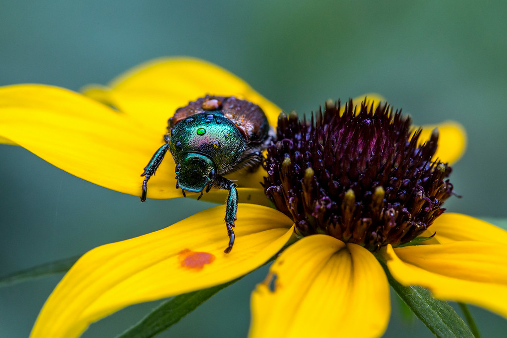 . Water droplets dot the back of a Japanese beetle as it walks on a black-eyed Susan. (Pioneer Press: Andy Rathbun)