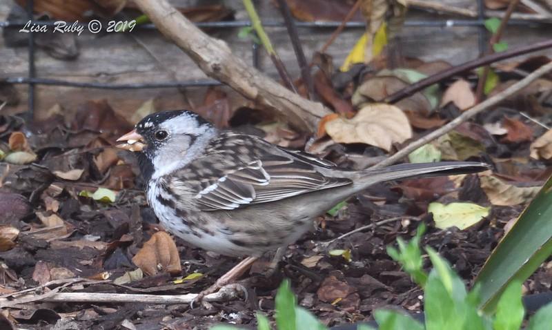 Harris's Sparrow - 4/20/2019 - Backyard Sabre Springs