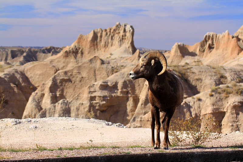 Badland Bighorn Sheep.jpg