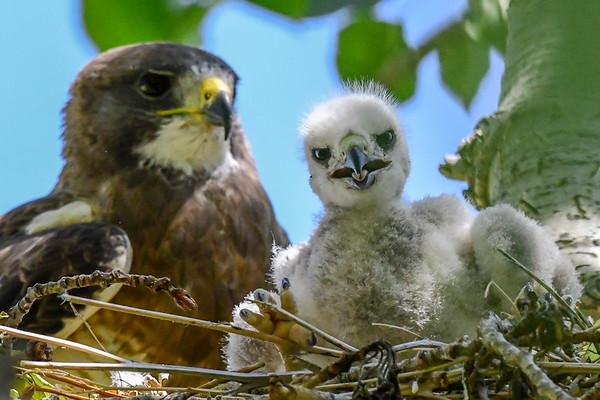 7-16-18 Swainson's Hawk family