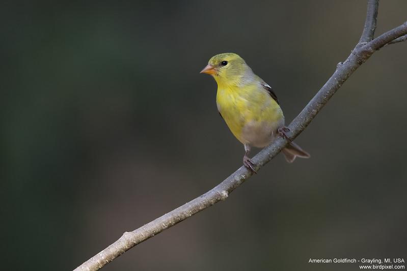 American Goldfinch - Grayling, MI, USA