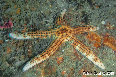 Black-dotted Sea Star