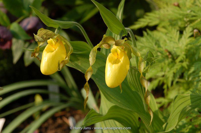 Cypripedium parviflorum ssp. pubescens