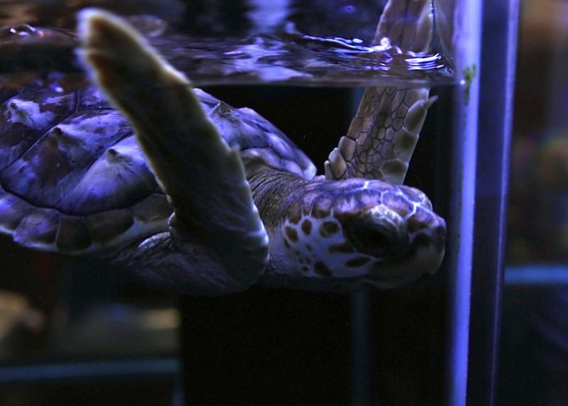 baby turtle in tank.jpg