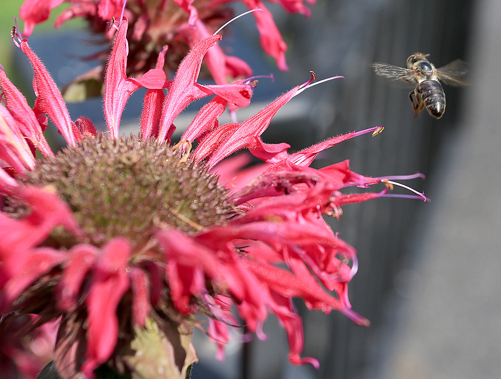 . Bees where gathering nectar on the flowers at Gateway Park in Fitchburg Tuesday afternoon. SENTINEL & ENTERPRISE/JOHN LOVE
