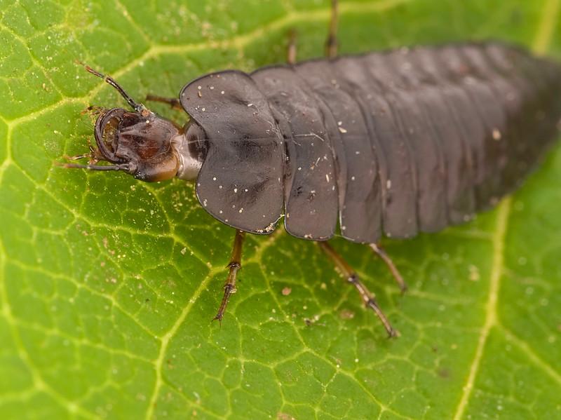 Ground Beetle Larva