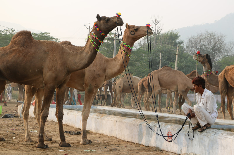 94% of camels in the world are dromedaries, the two humped camels are not found in India.