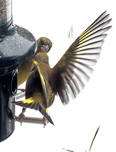Greenfinch ballet.jpg