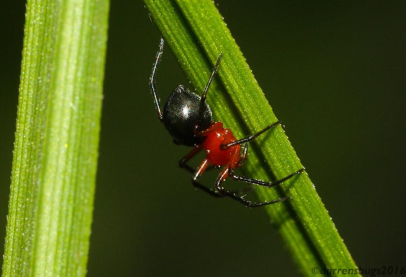 A very pretty Dwarf Spider (Linyphiidae: Erigoninae) from Iowa.