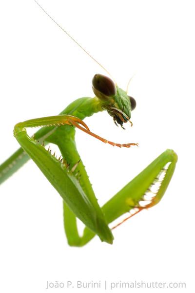 Praying mantis (Oxyopsis media) Sorocaba, SP, Brazil April 2012 Urban