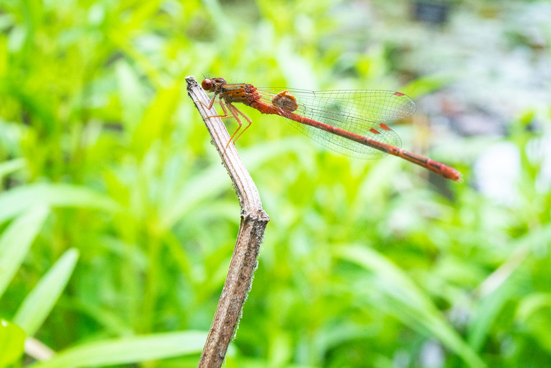 Damselfly with something odd stuck on its wings