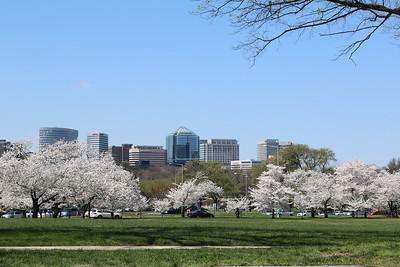 2015 Cherry Blossoms - Washington, DC