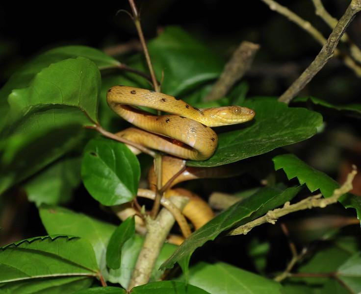 cat eyed snake.jpg