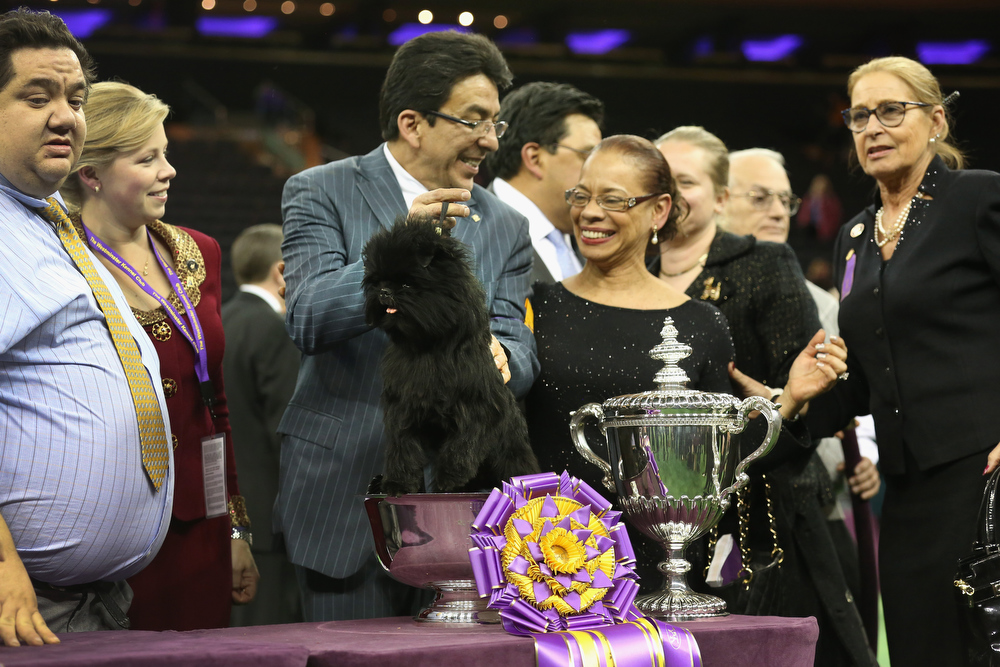 Description of . Dog handler Ernesto Lara holds Banana Joe, an Affenpincher, after he won Best in Show at the 137th Westminster Kennel Club Dog Show on February 12, 2013 in New York City.  A total of 2,721 dogs from 187 breeds and varieties competed in the event, hailed by organizers as the second oldest sporting competition in America, after the Kentucky Derby.  (Photo by John Moore/Getty Images)