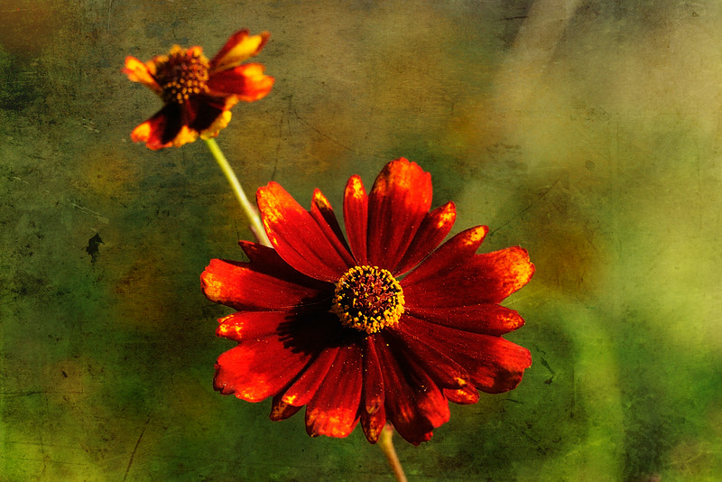 I'd like to say these red tickseed coreopsis are abundant, but I only know of one small plant in South Alabama and this year there are only two or three flowers on it.  But aren't they lovely?<br /> <br /> Texture by Shadow House Creations.