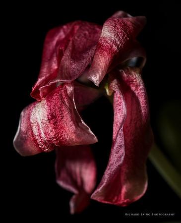 2014-9-27 | Tulip
