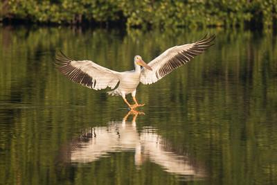 March 12, 2017 - Sanibel - American White Pelicans