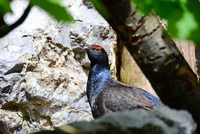 Hühnervögel - Gallinacea