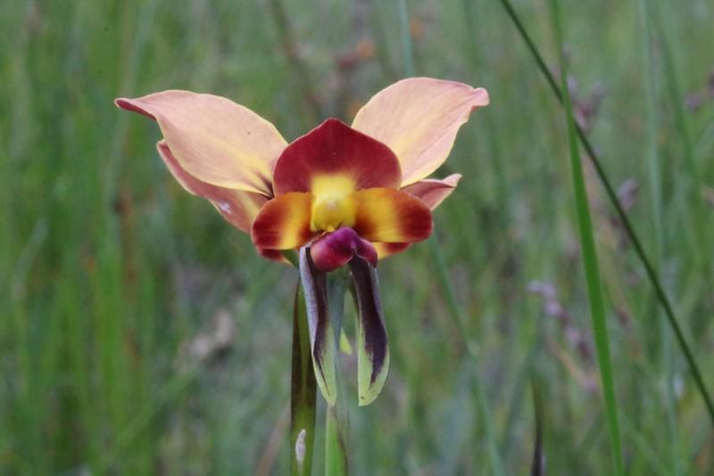 Diuris orientis - Donkey Orchid - Anglesea