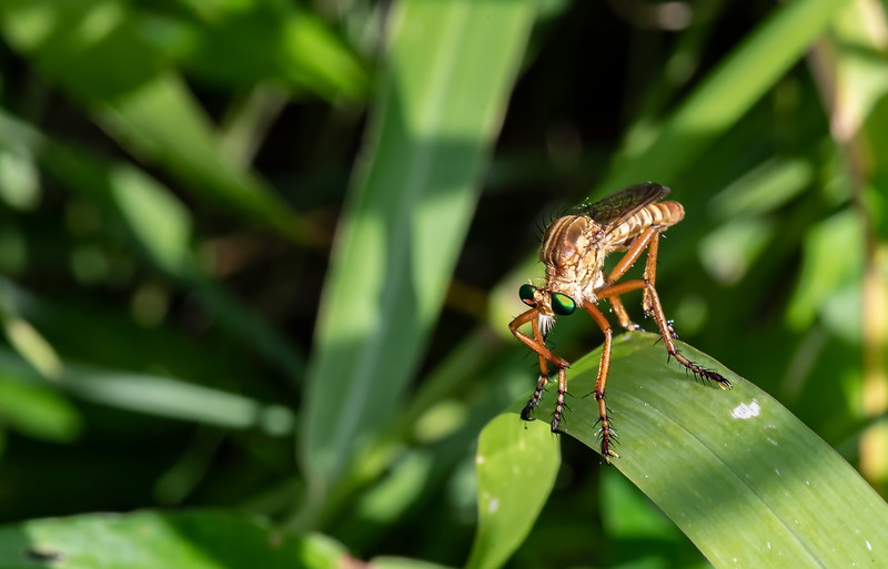 20190619_AnahuacNWR_Butterfly_Garden_Robber_Fly_500_8227.jpg