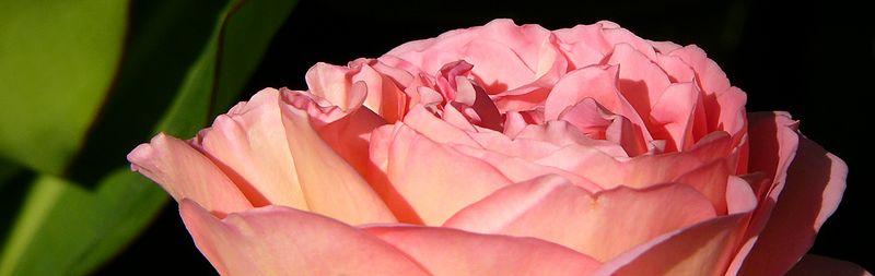 Pink Rose Strip.jpg