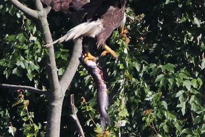 Huntingburg Eagle Nest - June 18