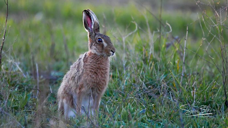 Hare!