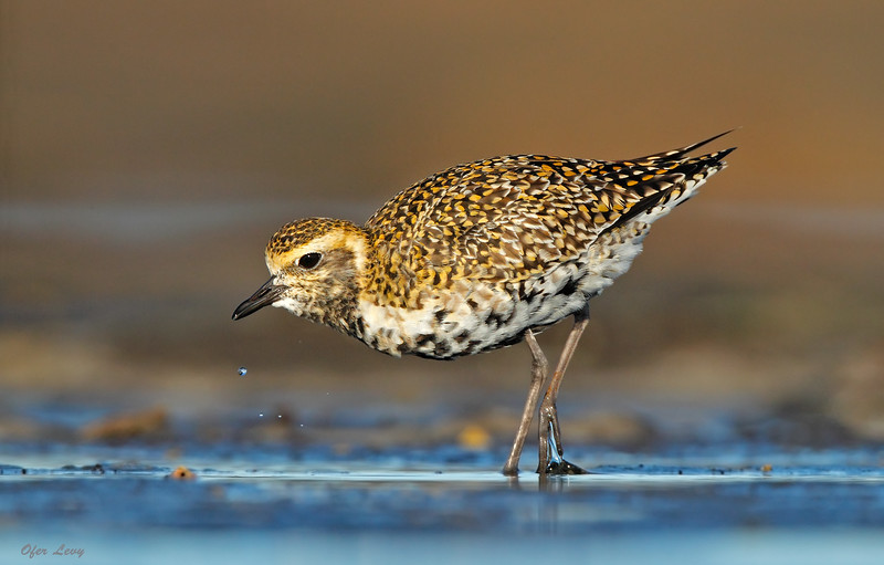 Pacific Golden Plover 2.jpg
