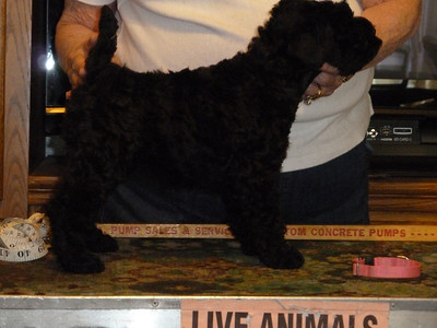 Stormie McCoy puppies 5 weeks