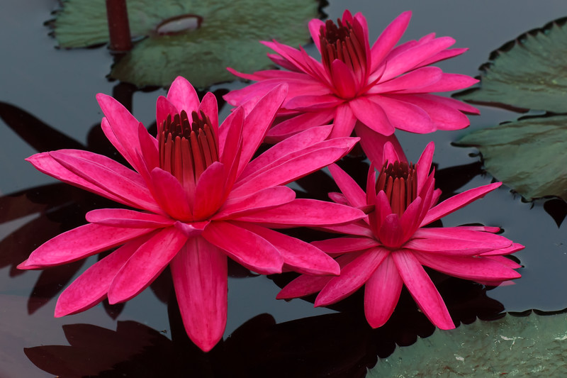 Family of Water Lilies