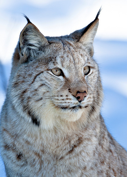 Lynx 3 web sharpened.jpg