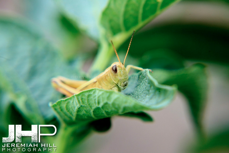 """Organic Garden Grasshopper #1"", Hillsdale, ON, Canada, 2011 Print JP11-721-029"
