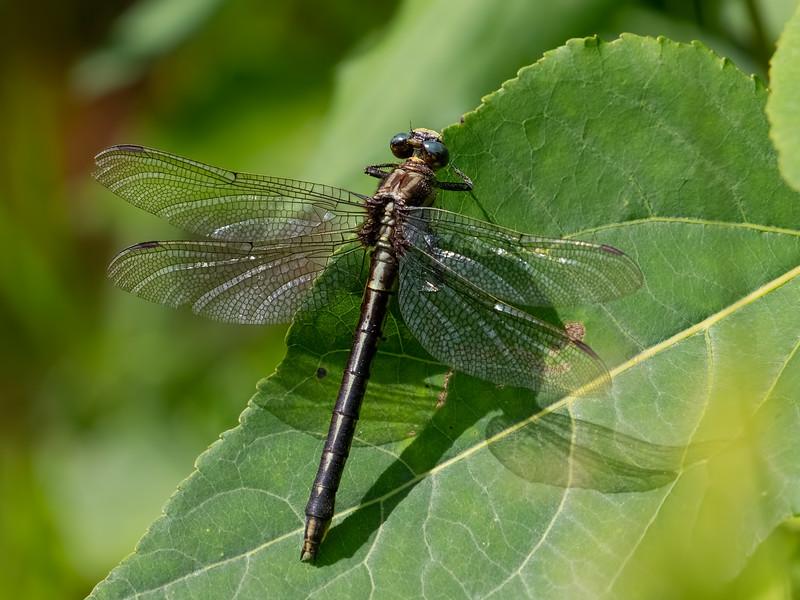 Ashy Clubtail (Phanogomphus lividus), female