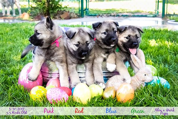 2017-03-31 Easter Puppies 5.5 weeks old
