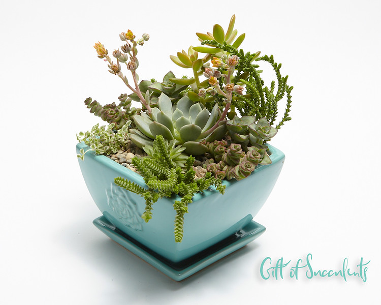 Gift of Succulents