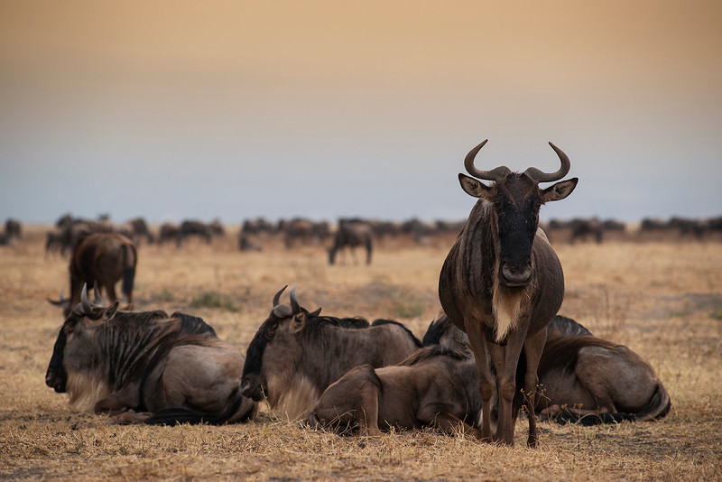 Wildebeest at the Nogorongoro crater.  Tanzania, 2019
