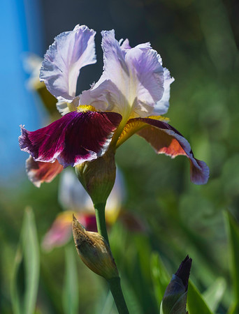 Iris Garden 2015