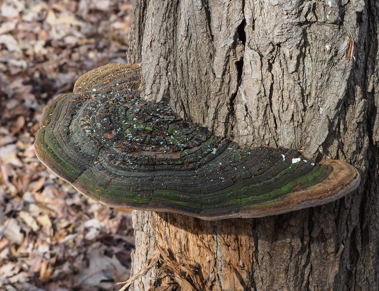 Cracked Cap Polypore