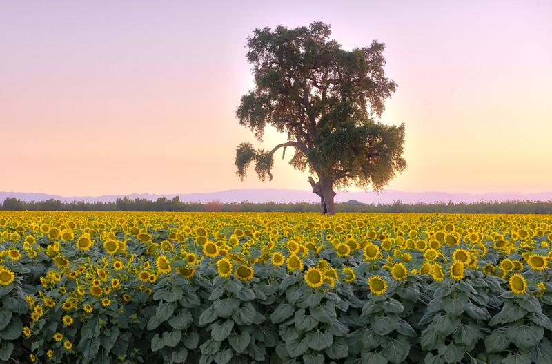 Sunflower Field 2_DSC0750_HDR.jpg