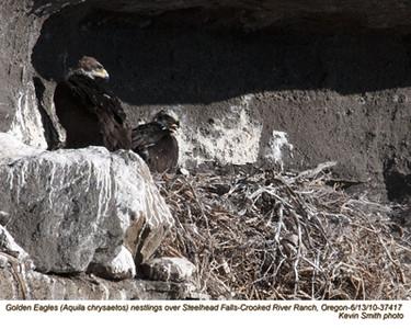 Golden EaglesN37417.jpg