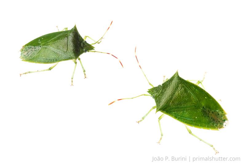 True bug (Pentanomidae species) Ribeirão Grande, Brazil Tropical rainforest (mata atlantica) October 2012