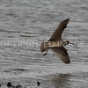 Whimbrel, Galveston County, 03.28.2015