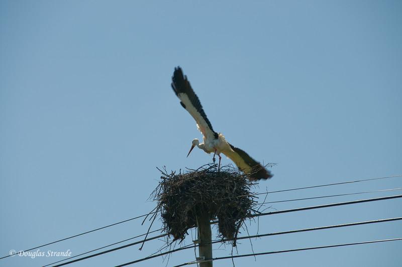 Wed 3/16 in Portugal: Stork landing on the nest