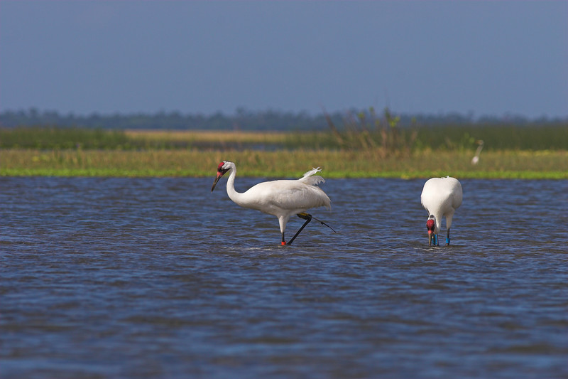 A pair of Whooping Cranes, found near Joe Overstreet's Landing (Lake Kissimmee)