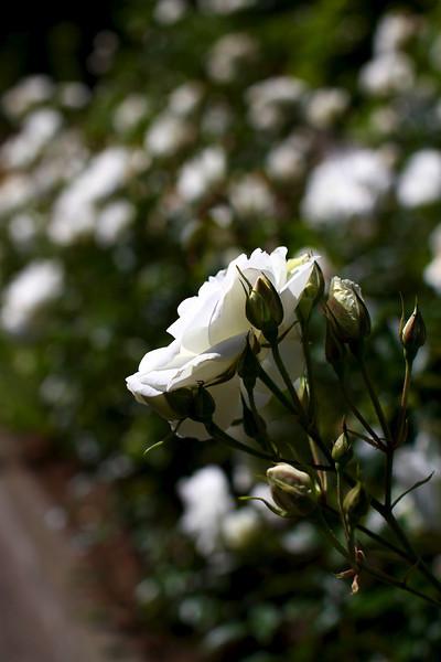 Portland International Rose Test Garden  2258.jpg