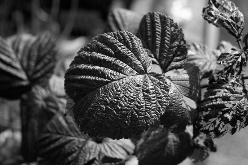 Raspberry leavesbw.jpg