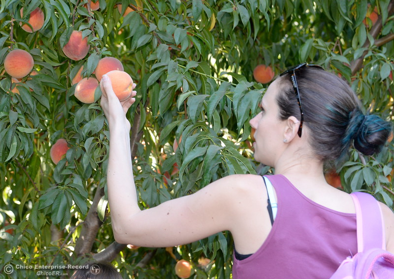 Kristin McLafferty of Chico finds a keeper as she picks peaches at the CSUC University Farm U-Pick Peach orchards in Chico, Calif. Thurs. Aug. 10, 2017. (Bill Husa -- Enterprise-Record)